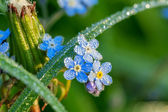 Forget me not flowers on a summer meadow — Stock Photo