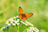 Butterfly sits on white flowers — Stock Photo