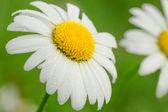 Daisy bir çayır üzerinde — Stok fotoğraf