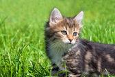 Die flauschige kätzchen spielt im grünen gras — Stockfoto