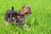 The fluffy kitten plays in a green grass — Stock Photo