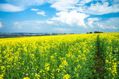 Field of yellow rapeseed against the blue sky — Stock Photo