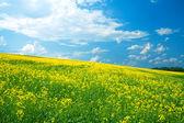 Campo de colza amarillo contra el cielo azul — Foto de Stock