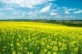 поле желтого рапса против голубого неба — Стоковое фото