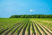 Rural landscape with a potato field — Stock Photo