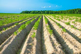 Rural landscape with a potato field — Stock Photo
