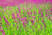 Rural summer landscape with the  a blossoming meadow — Stock Photo