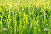 Background from a green grass on a lawn — Stock Photo