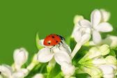 The ladybug creeps on white flowers — Stock Photo
