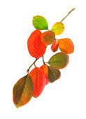 Colored autumn leaves isolated on a white background — Stock Photo
