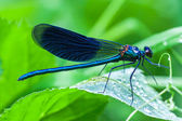 Blue dragonfly sits on a grass — Stock Photo
