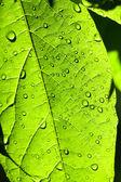 Foglia verde con acqua nelle vicinanze scende fino — Foto Stock