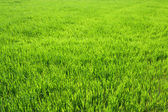 Background from a green grass in the field — Stock Photo
