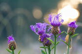 Flowers the  purple blossom on a meadow — Stockfoto