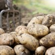 Potatoes in the field — Stock Photo #12528487
