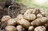 Potatoes in the field — Stock Photo