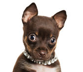 Cute little chihuahua puppy — Stock Photo