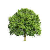 Tree isolated on white — Stock Photo