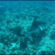 Stock Video: Eagl ray Selife underwater video Galapagos Pacific ocean