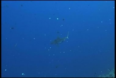 Shark diving underwater video — Stock Video