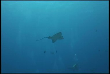 Eagl ray Sea life underwater video Galapagos Pacific ocean — Stock Video