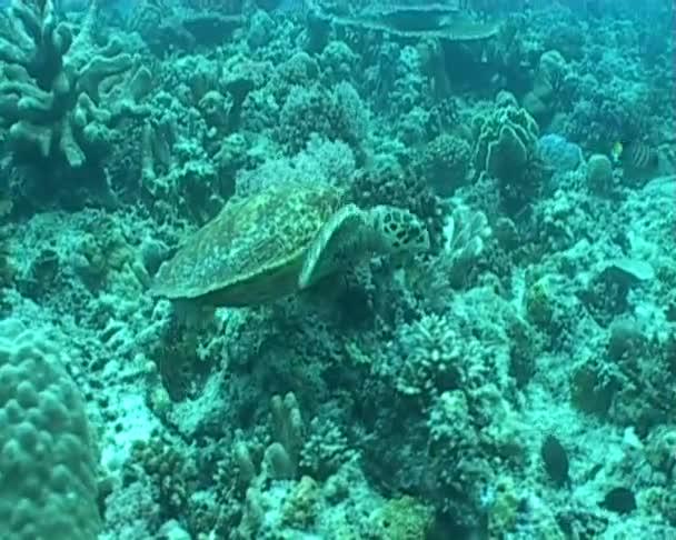 Tortuga — Vídeo de stock