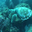 Stock Video: Turtle swimming underwater