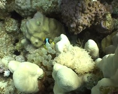 Underwater diving video anemone — Stock Video