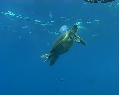 Turtle underwater diving video — Stock Video