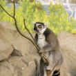 Stock Photo: Lemur Funny Animal