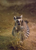 Lemur Funny Animal — Stock Photo