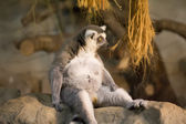 Lemur Funny Animal — Stock Photo