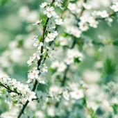 Blumen von den kirschbäumen — Stockfoto