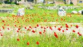Poppy flowers growing in the Roman forum, Rome — Stock Photo