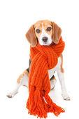 Zimą pies — Zdjęcie stockowe
