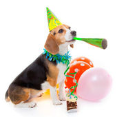Dog party animal — Stock Photo