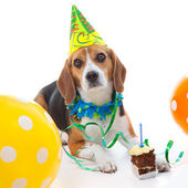 Pet first birthday party celebration — ストック写真