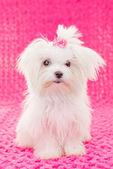 Cute maltese puppy dog — Stock Photo
