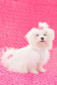 Maltese dogs — Stock Photo