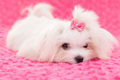 Pedigree maltese dog — Stock Photo