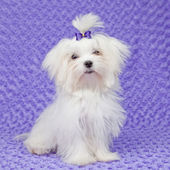 Maltese dog — Stock Photo