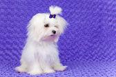 Little pet dog — Stock Photo