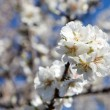 Stock Photo: Almond blossom