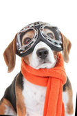 Dog wearing flying glasses or goggles — Stock Photo
