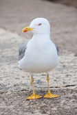 Single seagull front view looking to the side — Stock Photo