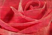 Closeup red rose flower — Stock Photo
