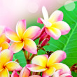 Frangipani flower summer - Stock Photo