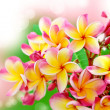 Frangipani flower background - Stock Photo