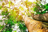 Big trees in the forest — Stock Photo
