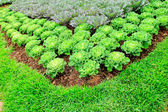 Cabbage plants — Stock Photo
